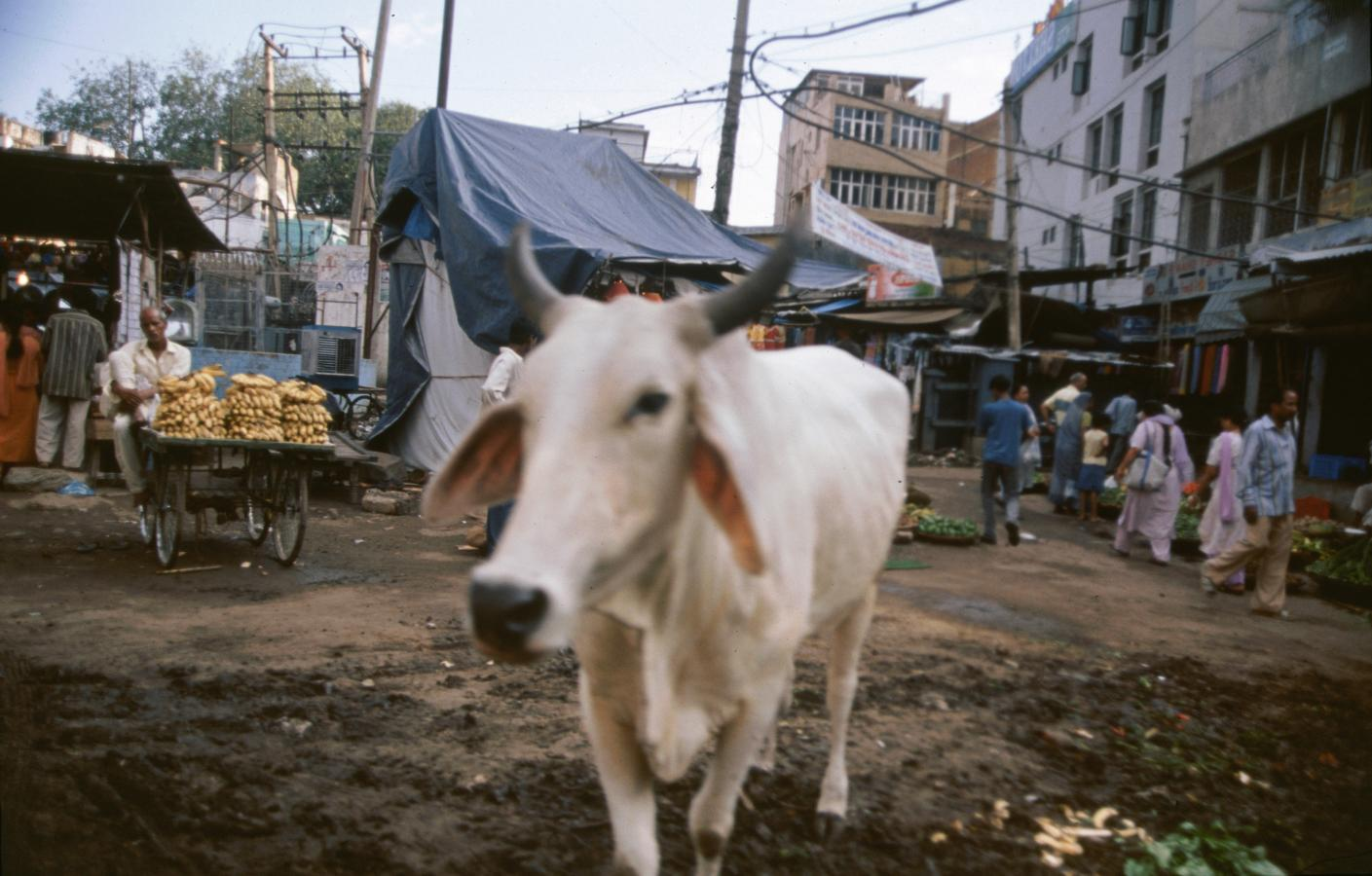cow-in-the-street-delhi-2003