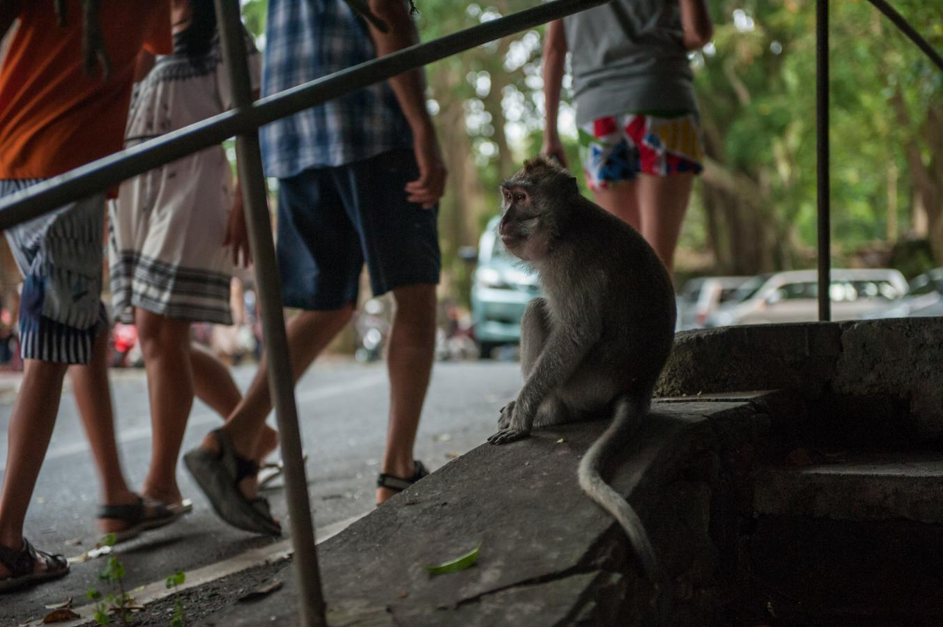 monkey-looking-at-the-people-ubud-bali-2013